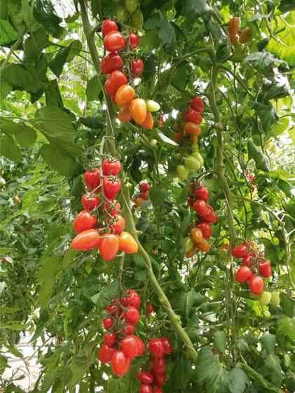 Каталог Патронташ F1 семена томата индетерминантного (Гавриш) F1_Патронташ_1.jpg