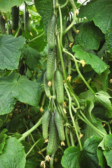 Гавриш Кадет F1 семена огурца партенокарпического (Гавриш) Кадет_семена_овощей_оптом.jpeg