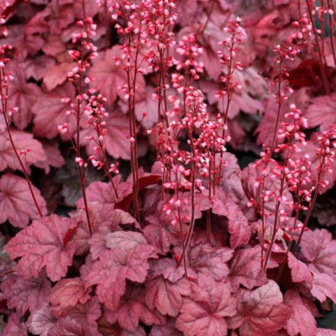 Розово-пурпурная гейхера для солнца и полутени