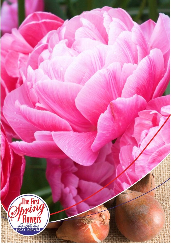 Луковицы Тюльпана Махрового раннего  Vogue (Вог) TM Jan de Wit en Zonen B.V. ( количество в упаковке 3 луковицы)