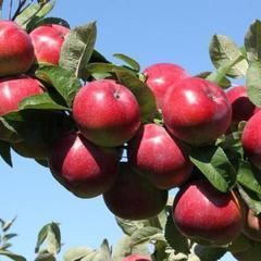 Яблоки Анисовка поздняя / 1 кг