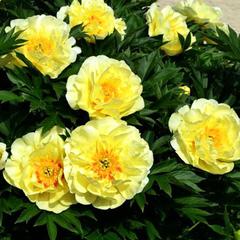 "Пион ИТО-гибрид Гарден Треже  ""Garden Treasure"""