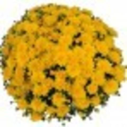 Хризантема мультифлора  Meridian Dark Yellow N 2098