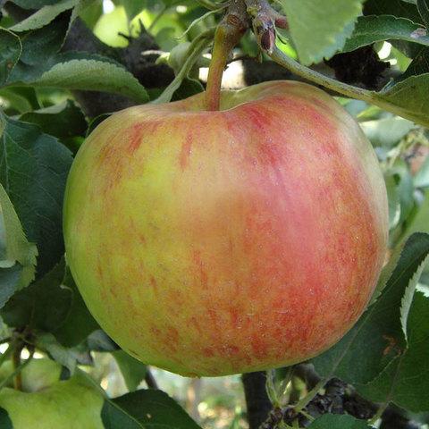 Яблоня (подвой 54-118, полукарликовый) Аркад розовый