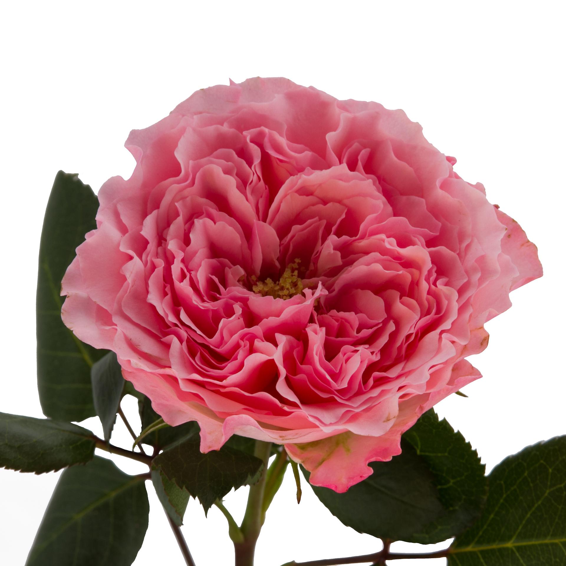 Роза Майра Роуз