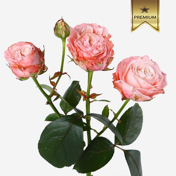 Купить необычные розовые кремовые лососевые кустовые пионовидные розы в Перми доставка цветов