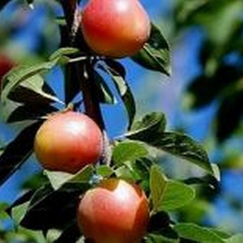 Шарафуга-Гибрид (слива,абрикос,персик) 2 летняя ОКС