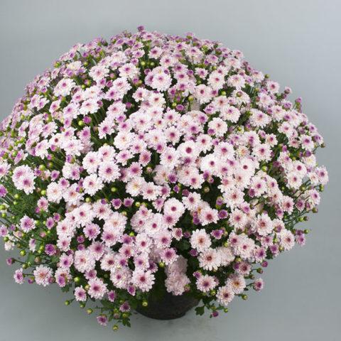 Хризантема мультифлора Branqueen Pink N 2085
