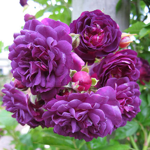 Роза плетистая Блю Маджента