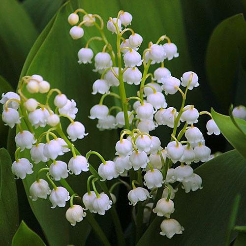 Травы Ландыш майский, трава convallaria-381.jpg