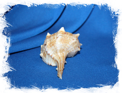 Мурекс болинус корнутус (Bolinus cornutus)