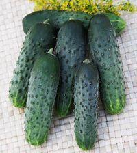 Гавриш Кадриль F1 семена огурца партенокарпического (Гавриш) Кадриль_семена_овощей_оптом.jpeg