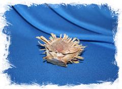 Ракушка Spondylus variegatus