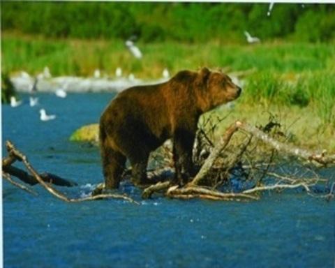 Картина раскраска по номерам 30x40 Медведь после рыбалки (арт. KTL1060)
