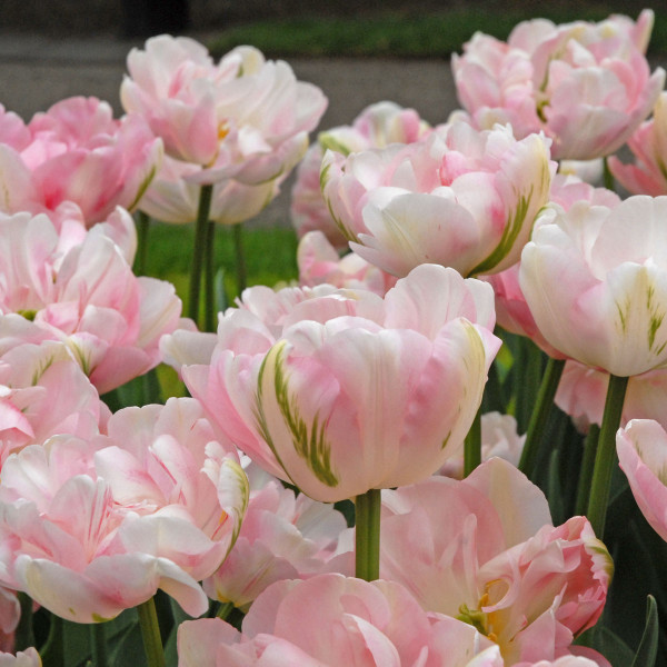 Тюльпан Махровый поздний Finola (Финола) Нидерланды 3 шт