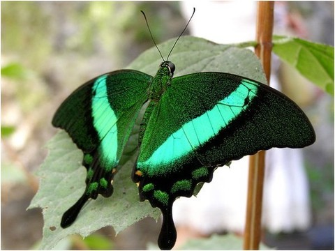 Бабочка Парусник Палинур