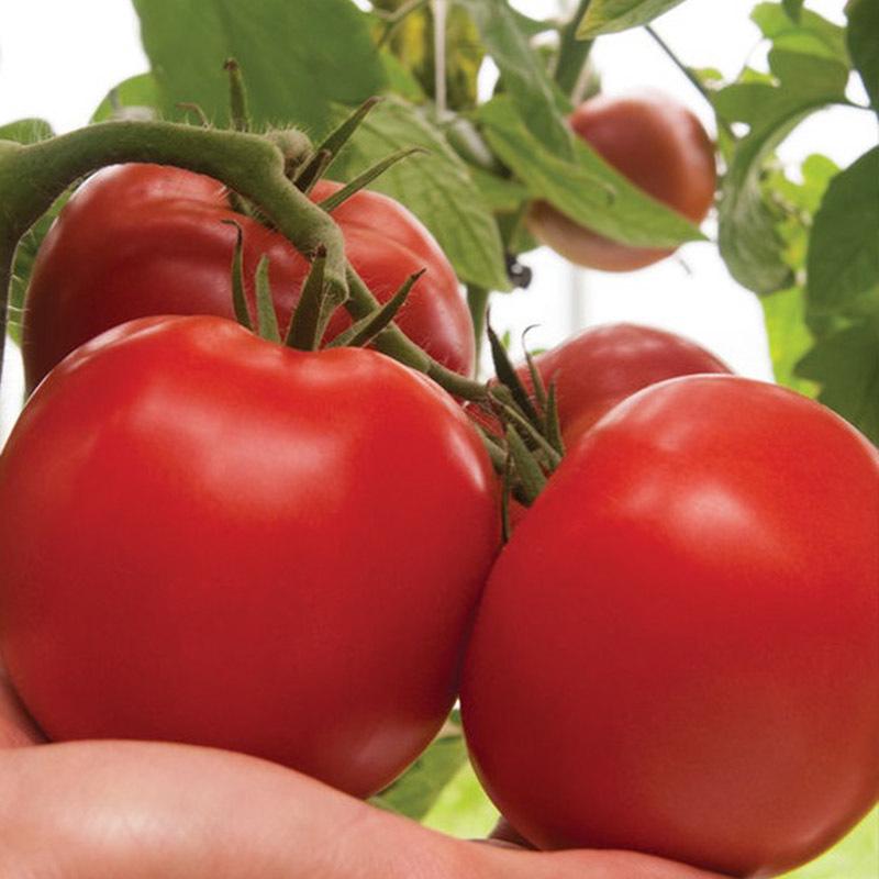 Красный Дантина F1 семена томата индетерминантного (Syngenta / Сингента) Дантина-томат_сингента.jpg