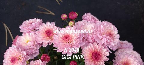 Хризантема мультифлора Gigi  Pink  №2048