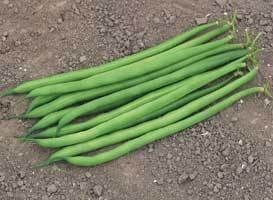 Фасоль Серенгети семена фасоли (Syngenta / Сингента) Серенгети_семена_овощей_оптом.jpg