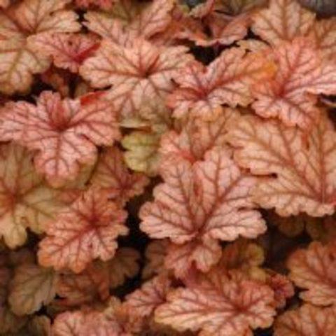 Кораллово-розовая гейхерелла для полутени