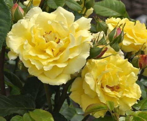 Роза парковая Рейн Лючия (в тубе)