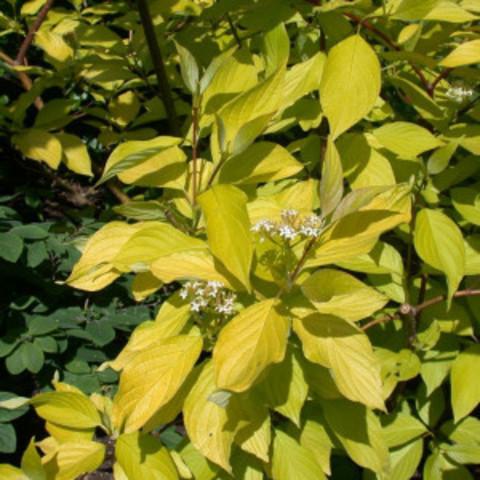 Дерен белый Ауреа C15 60-80