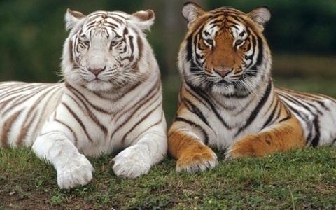 Алмазная Мозаика 40x50 Тигры отдыхают на траве (арт. S2877)