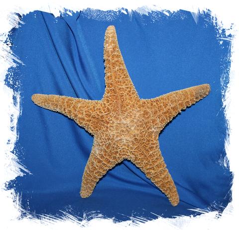 Мексиканская морская звезда 30-40 см.