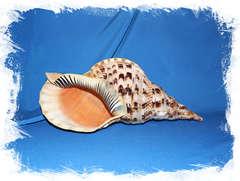 Харония Тритонис (Charonia tritonis) 37 см.