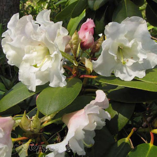 Рододендрон гибридный Никодемус