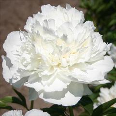 Пион Marshmallow Puff