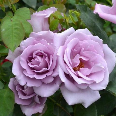 Роза плетистая Клайминг Си-си (в тубе)
