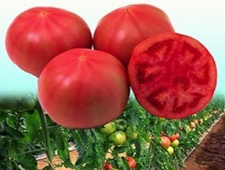 Томат Сенкара F1 семена томата индетерминантного (Vilmorin / Вильморин) СЕНКАРА_F1__Т65_F1__семена_овощей_оптом.jpg