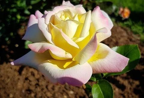 Роза чайно-гибридная Пис (Глория Дей) (в тубе)