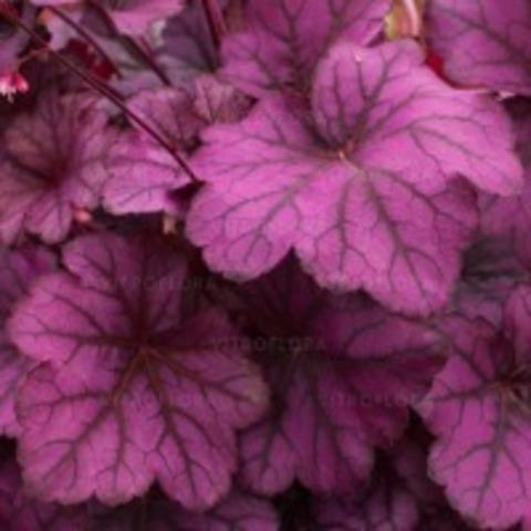 Неоново-фиолетовая гейхера для солнца и полутени