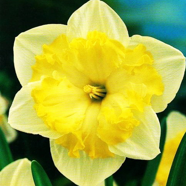 Нарцисс разрезнокорончатый Принтал