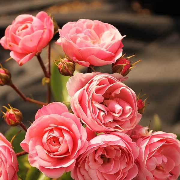 Роза флорибунда Байяндо Северный огород