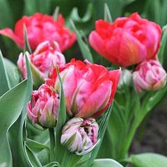 Tulip-Flash-Point