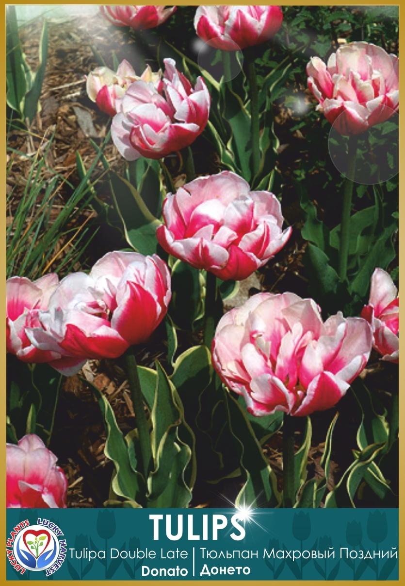Луковицы Махрового Позднего  Тюльпана