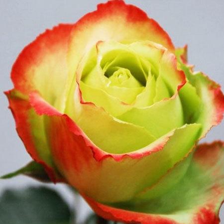 Роза чайно-гибридная Зазу
