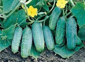 Огурец Октопус F1 семена огурца пчелоопыляемого (Syngenta / Сингента) Октопус_F1_семена_овощей_оптом.jpg