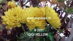 Хризантема мультифлора (шаровидная) Gigi Yellow №2051