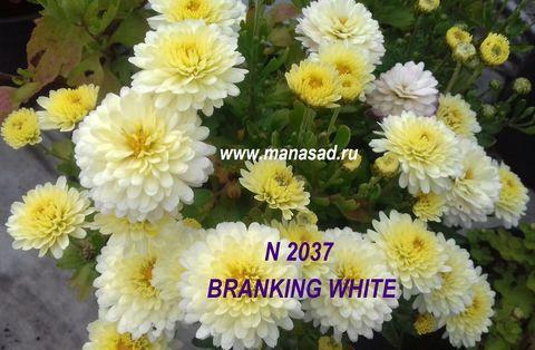 Хризантема мультифлора (шаровидная) Branking White №2037