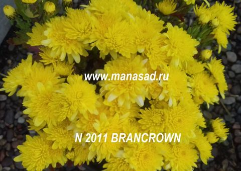 Хризантема мультифлора Brancrown N 2011