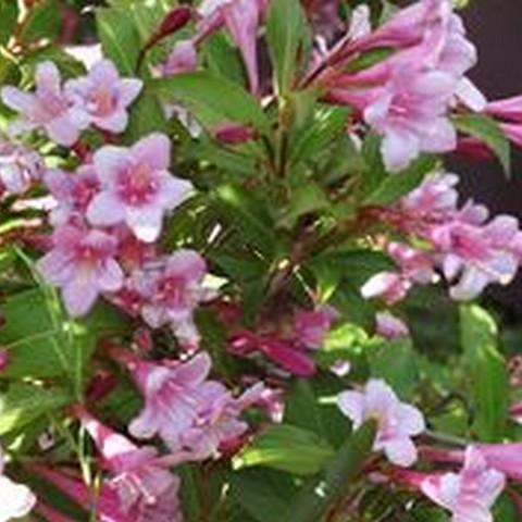Вейгела цветущая Пинк Принцес  С2 40-60