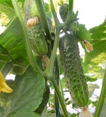 Афина F1 семена огурца пчелоопыляемого (Nunhems / Нюнемс)