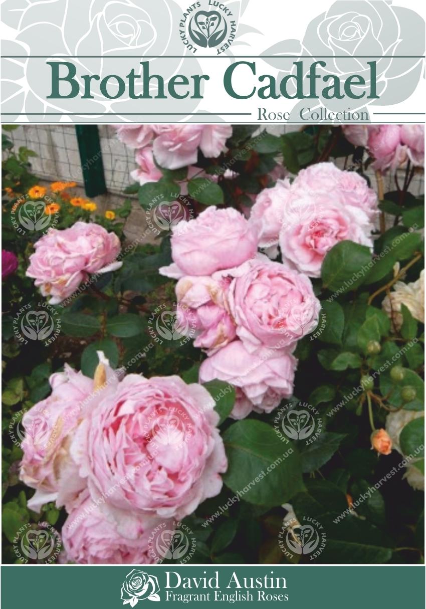 Троянда Англійська Великоквітвова Махрова