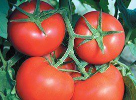 Томат Фантастина F1 семена томата индетерминантного (Syngenta / Сингента) Фантастина_F1_семена_овощей_оптом.jpg