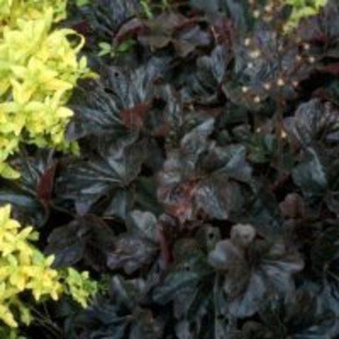 Черная атласная солнцестойкая Гейхера