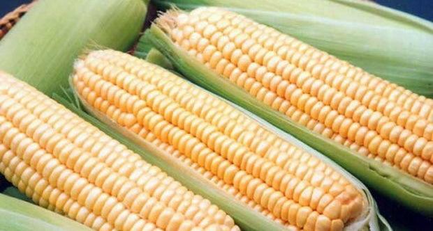Кукуруза Супер Санданс F1 семена кукурузы (Clause / Клос) Санданс_F1.jpg